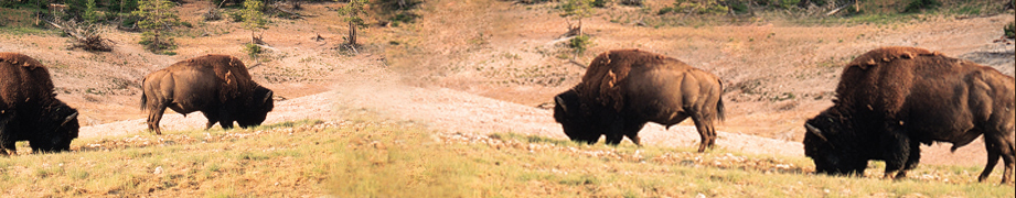 Bison Health Facts